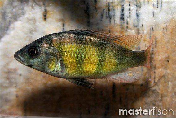 Haplochromis red tail (CH44)