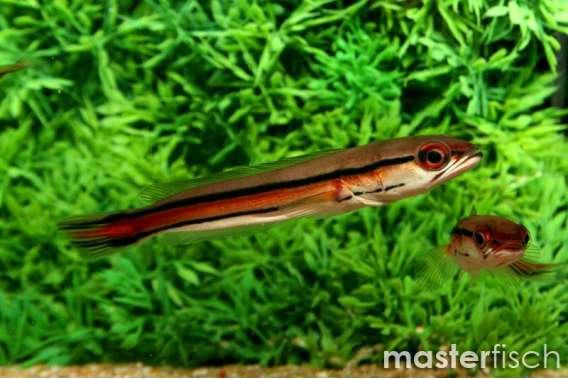 Indonesischer Schlangenkopf