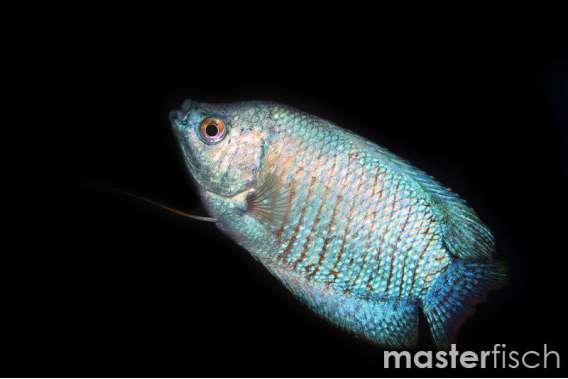 Cobalt Blue Dwarf Gourami(Male)