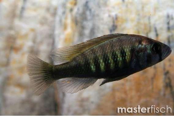 Haplochromis Brownae Cichlid
