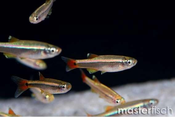 Kardinalfisch / Kardinaelchen