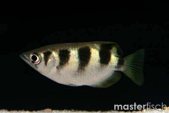 Schützenfisch jaculator