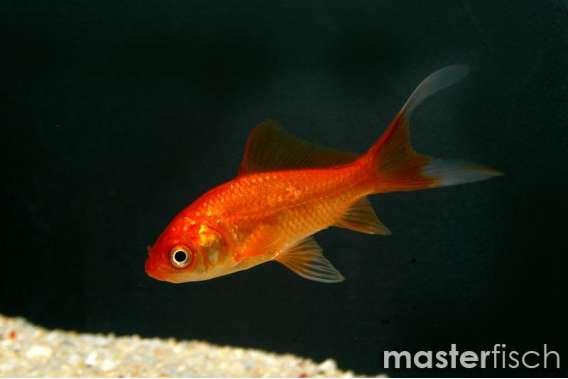 Goldfisch Kometenschweif