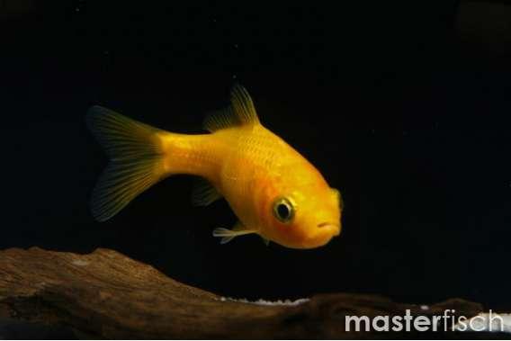 Gelbfisch