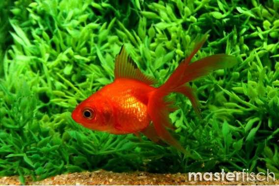 Schleierschwanz Rot