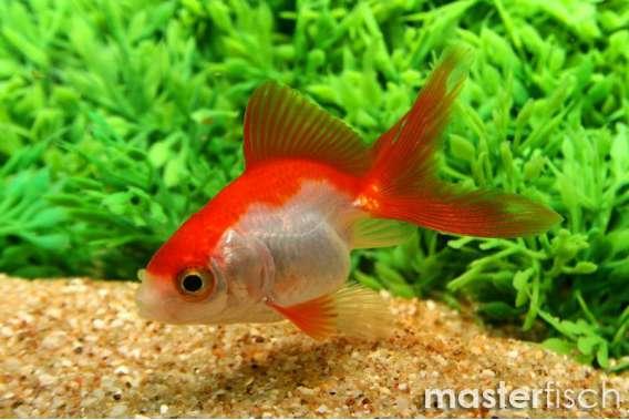 Schleierschwanz Rot & Weiß