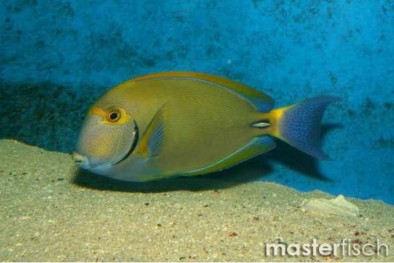 Dussumieres Doktorfisch