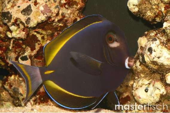Samtdoktorfisch