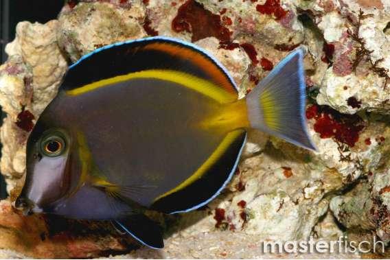 Philippinen Doktorfisch