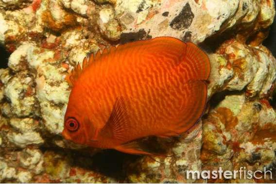 Golden Angelfish