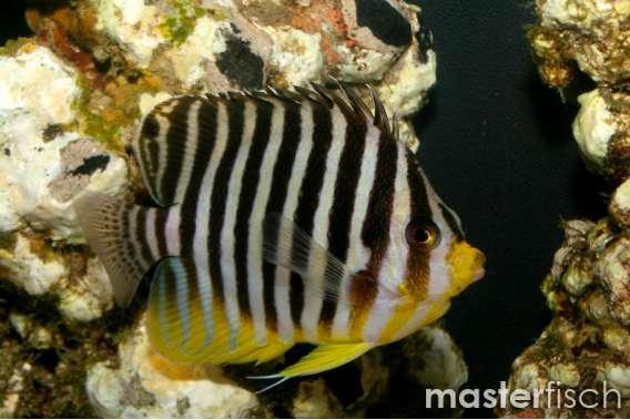 Zebra-Zwergkaiserfisch