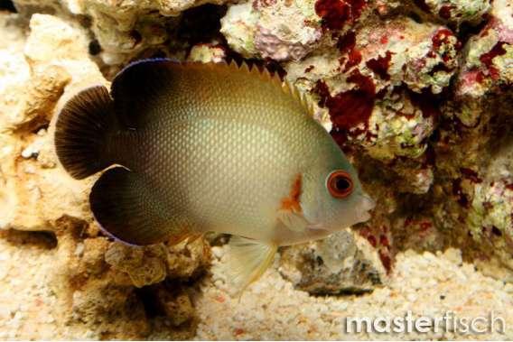 Perlschuppen-Zwergkaiserfisch