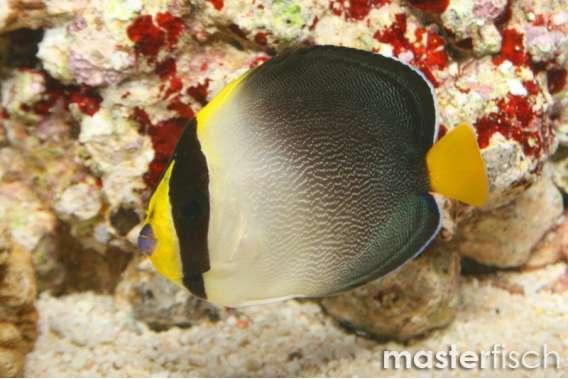 Mond- Samtkaiserfisch