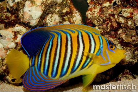 Pfauenkaiserfisch Rotmeer