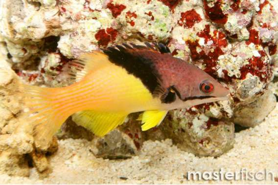 Schwarzkeil-Schweinslippfisch