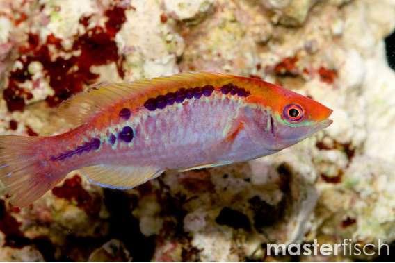 Lubbocks Zwerglippfisch
