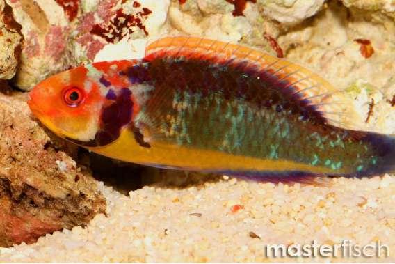 Rotaugen - Zwerglippfisch