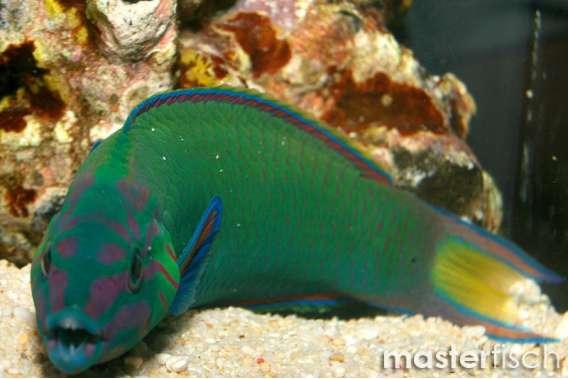 Mondsichel - Lippfisch