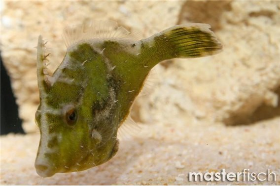Seegras- / Tangfeilenfisch