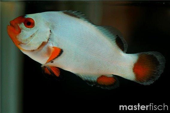 Clown Anemonenfisch Platinium (Nachzucht)