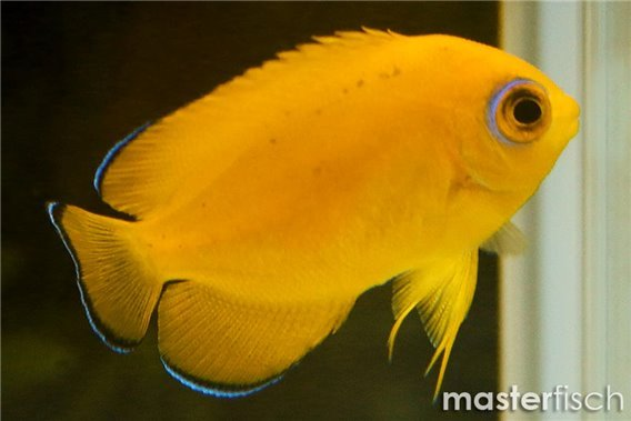 Lemonpeel Angelfish (allevamento)