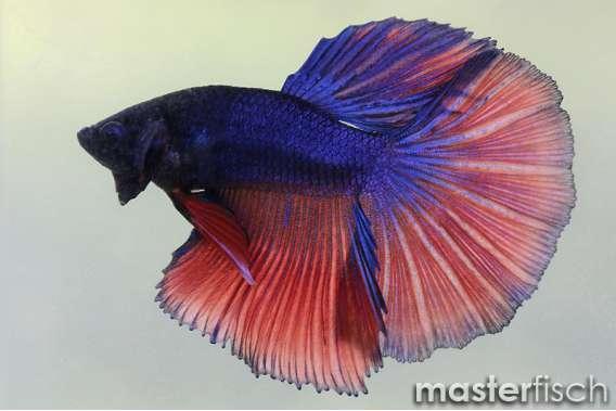 Mix Half Moon Figthing Fish