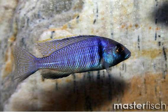 Deep Water Hap Cichlid