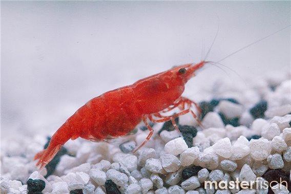 Fire-Zwerggarnele (red cherry) grade A