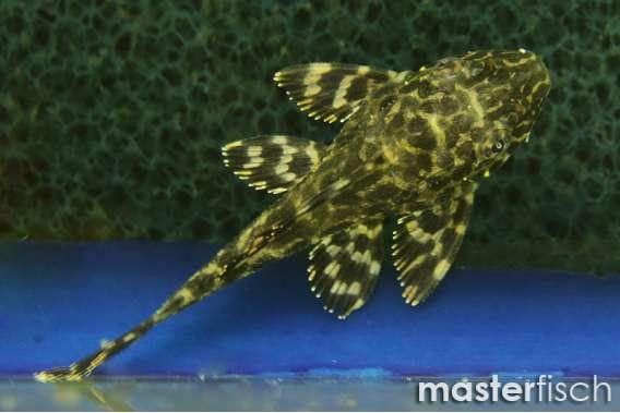 Goldflecken-Segelschilderwels L001 (Nachzucht)