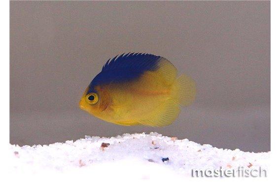 Cocos-Keeling angelfish (bred)
