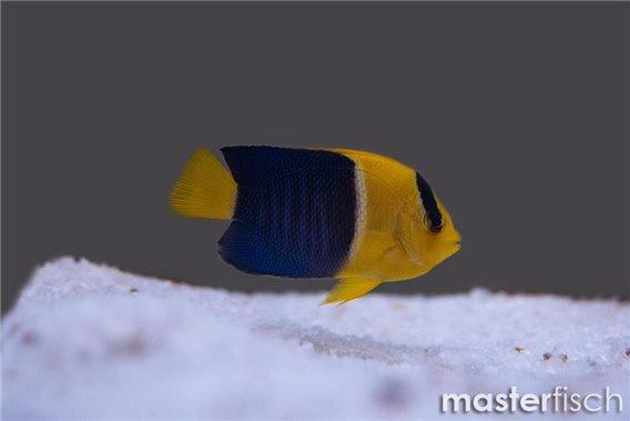 Centropyge bicolor (élevage)