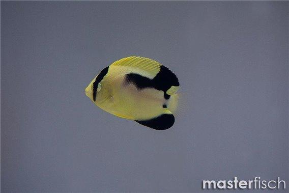 Goldtupfen-Kaiserfisch hybride x Griffis (Nachzucht)