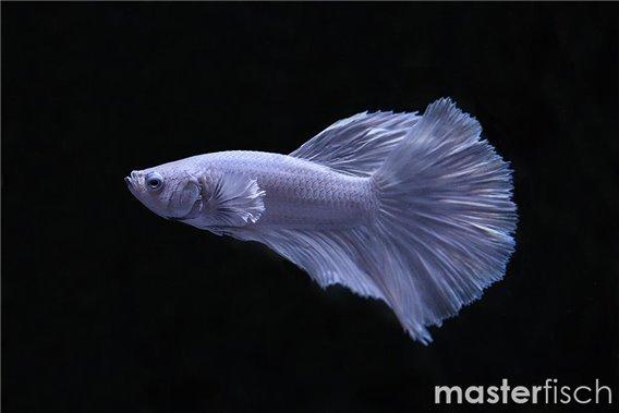 Siamesischer Kampffisch Halfmoon Platinum