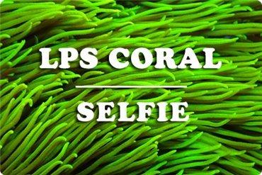 Corales LPS (WYSIWYG)