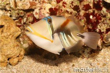 Triggerfish and Filefish