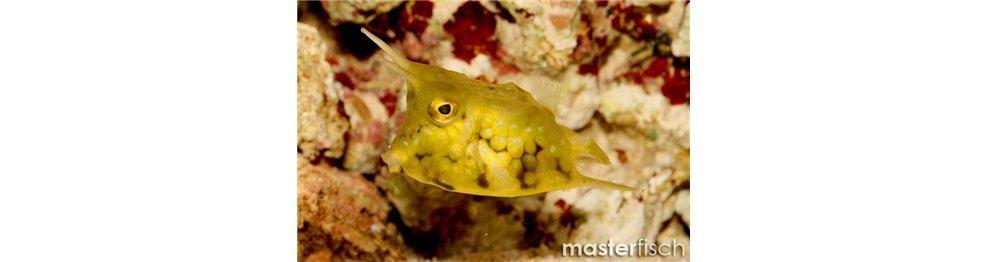 Pez cofre y pez globo