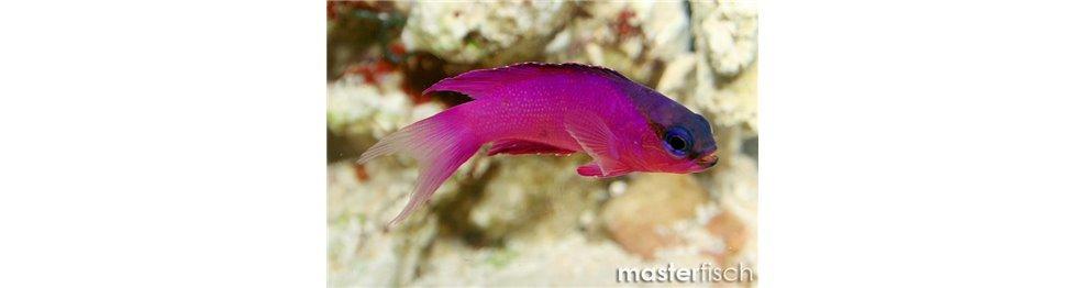 Bred fish