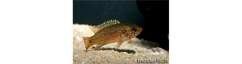 Other African Cichlids