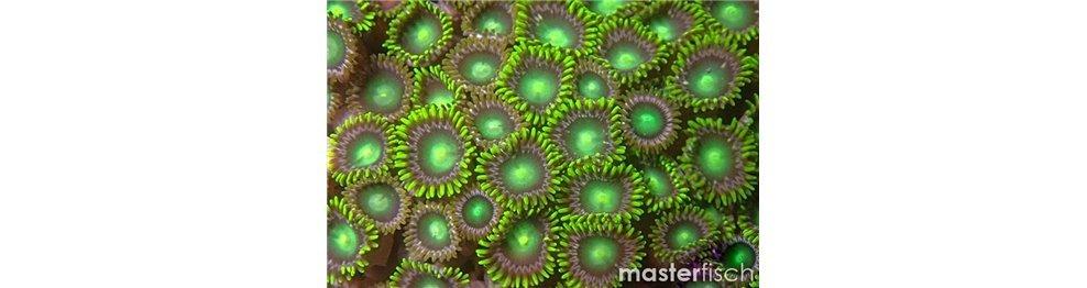 Korallen & Blumentiere